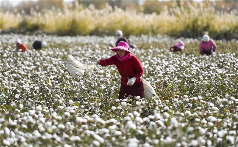 華府智庫「全球政策中心」一份報告指出,在中國政府的強制勞動計畫下,中國西北部新疆地區有數十萬少數族裔勞工被迫手工摘取棉花。圖為新疆民眾摘取棉花。(中新社)