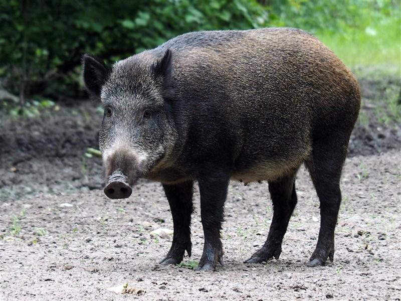 德國政府16日表示,東部布蘭登堡邦又有5隻野豬感染非洲豬瘟。(圖取自Unsplash圖庫)