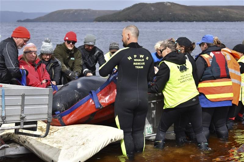 澳洲塔斯馬尼亞島周邊海域驚傳大批鯨魚擱淺,由於鯨魚體型龐大拯救不易,救援人員別無他法,24日開始安樂死部分仍倖存的鯨魚。圖為救援人員將鯨魚移到拖車上。(法新社)