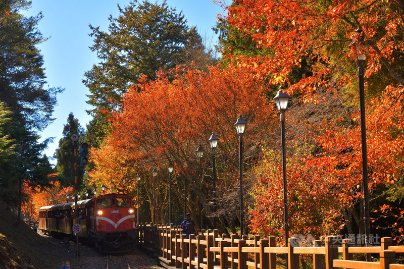 阿里山林鐵文資處指出,每到楓紅季節,對高岳車站棧道兩側台灣紅榨楓,在火車經過時,每每呈現絕美畫面。(黃源明提供)中央社記者蔡智明傳真 109年10月22日