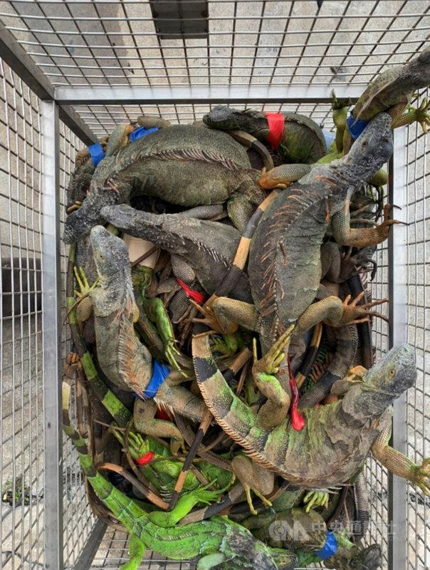 外來入侵種綠鬣蜥在高屏地區野外族群快速擴張,屏東縣今年1月至9月已捕捉5000多隻,捕捉到的數量居全台之冠。(屏東縣政府提供)中央社記者張榮祥傳真 109年10月23日