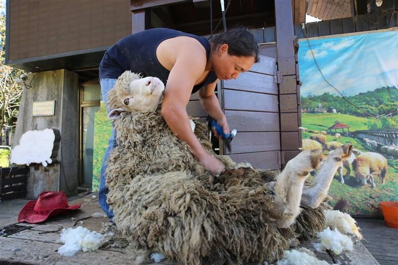 動保團體指控傷害、戲謔羊群,清境農場8日表示,已改進調整表演內容,不介紹綿羊牙齒、不對綿羊開玩笑,只保留綿羊前肢向遊客打招呼橋段。(圖取自facebook.com/CingjingFarm)