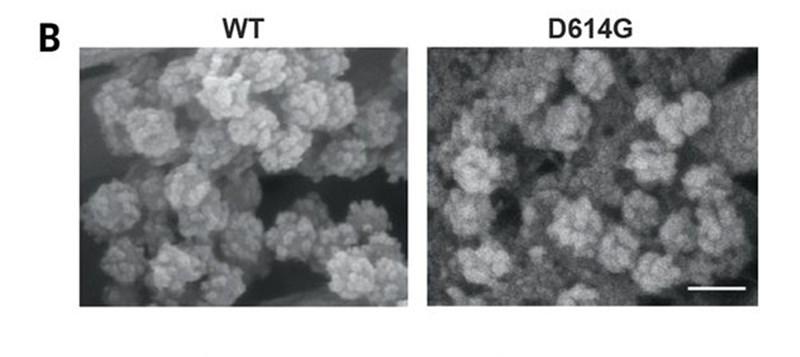 日本與美國學者等組成的研究團隊證實,變異後的新型冠狀病毒(右)較一開始在中國武漢市發現的病毒(左),傳染力更強。(圖取自自然網頁science.sciencemag.org)