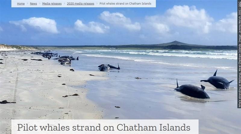 紐西蘭當局25日表示,位於紐西蘭東方大約800公里的沙塔群島,有97頭領航鯨及3隻瓶鼻海豚擱淺喪命。(圖取自紐西蘭保育局網頁doc.govt.nz)