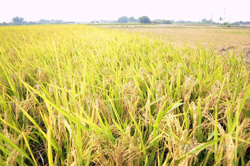 農委會繼宣布嘉南及竹苗中今年第一期作物停灌4.7萬公頃後,5日再宣布桃園灌區停灌2.7萬公頃,迄今累計7.4萬公頃停灌,約佔全台31萬公頃灌區的24%。圖為嘉南平原水稻農田。(中央社檔案照片)