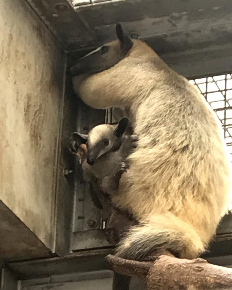 台北市立動物園表示,南美小食蟻獸「小紅」9月1日帶著寶寶翻越柵欄脫逃,當天順利找到寶寶,「小紅」則在12月6日才尋獲。(台北市立動物園提供)