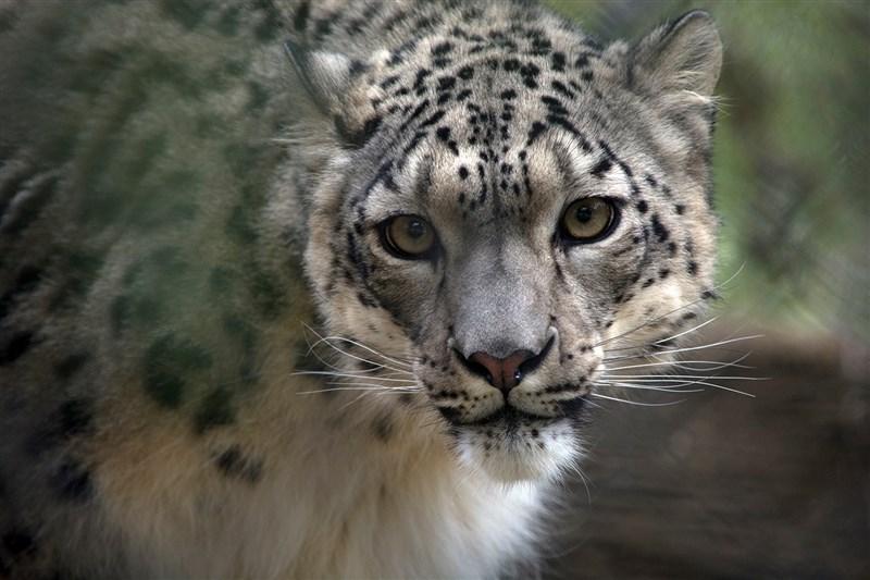 美國肯塔基州路易維爾動物園證實,園內有3隻雪豹驗出對新型冠狀病毒呈陽性反應,分別為兩隻公雪豹與一隻母雪豹。(圖取自facebook.com/Louisvillezoo)