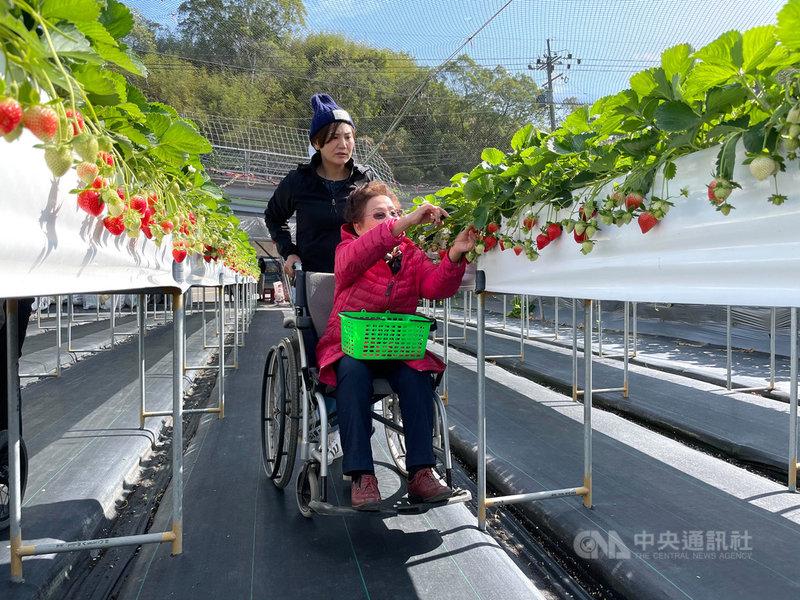 苗栗大湖草莓正值產季,部分觀光草莓園業者除採高架種植,也提供加寬無障礙通道,讓身障輪椅族也能走出戶外,享受採果樂趣。(民眾提供)中央社記者管瑞平傳真 109年12月17日