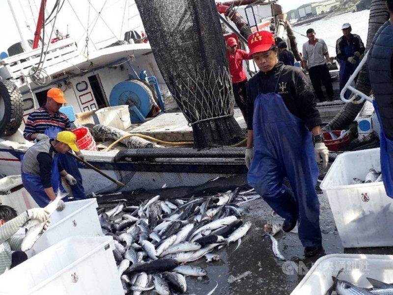野生烏魚每年冬季都會由北方南下產卵,成為漁民口中的「烏金」,從魚肉到魚卵都是寶,漁業處表示,正頭烏的魚群已洄游到東北角海域。圖為漁船豐收進港載來滿滿漁獲。(新北市漁業處提供)中央社記者王鴻國傳真  110年1月7日