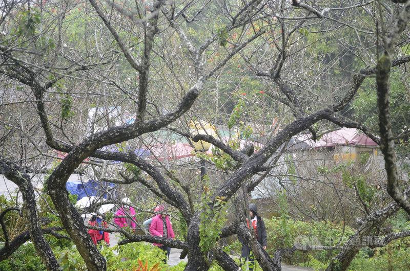 寒流來襲,7日飄著小雨,仍有民眾撐著雨傘到嘉義縣梅山公園賞梅,往年此時梅花已盛開,今年卻稀稀落落;嘉義縣梅山鄉公所指出,因乾旱使得花期延後至1月中下旬。中央社記者蔡智明攝  110年1月7日