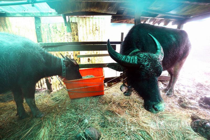 陽明山國家公園管理處目前有2頭水牛較常駐在牛棚,牛棚可以協助牠們弄乾身體、保持體溫,而牛最初不知道草料可以食用,是後來才慢慢接受。中央社記者林育瑄台北攝 110年1月10日