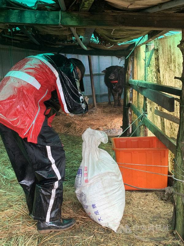 陽明山國家公園管理處的工作人員將由苜蓿、甜燕麥、百慕達混合的補充草料揹至牛棚,原先在牛棚休息的水牛,聞到草料香氣後緩步走近。中央社記者林育瑄台北攝 110年1月10日