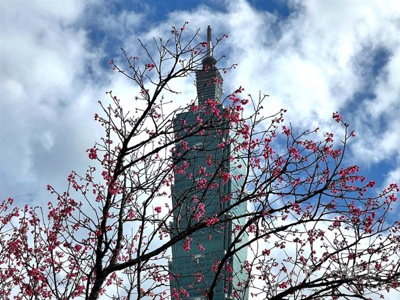 中央氣象局表示,大年初三受到東北季風影響,北部及東北部有降雨機率,不過水氣減少,降雨空檔增多,有機會見到陽光露臉。圖為白天盛開的櫻花與台北101大樓。中央社記者王飛華攝 110年2月10日