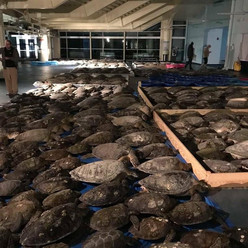 美國德州近日遭遇百年來最嚴酷暴風雪,動物保護組織志工和野生動物保育人員本週在德州最南端的南帕德瑞島拯救2600多隻被凍昏的海龜。(圖取自facebook.com/SeaTurtleConservation)