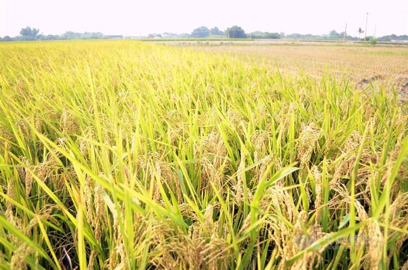 傳台中米商以每百台斤1500元買乾穀,農糧署說,這是少數米商預期心理,台灣不缺米糧。(中央社檔案照片)