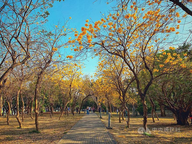 台南億載金城是知名的黃花風鈴木賞花景點之一,黃花風鈴木在花朵盛開時,通常沒有綠葉的相稱,純粹的金黃色花海相當壯觀。(KLOOK提供)中央社記者余曉涵傳真 110年2月24日