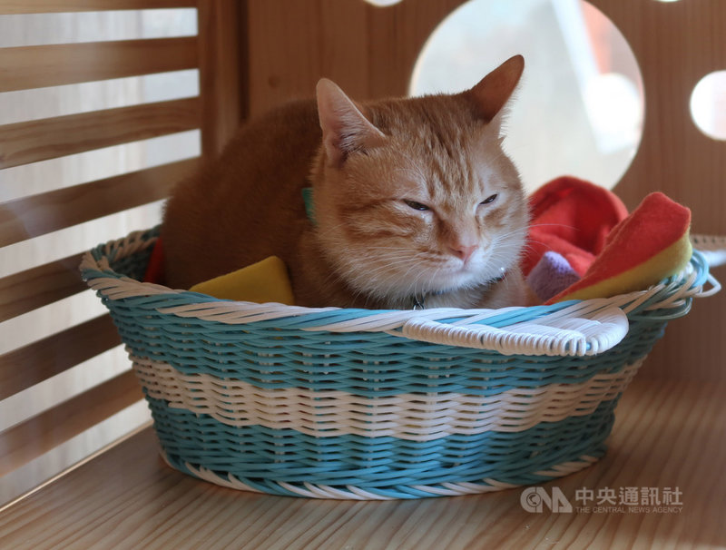 高雄捷運橋頭糖廠站有隻可愛橘貓,被網友封為「蜜柑站長」,近來人氣暴漲,萌樣吸引不少民眾佇足拍照。中央社記者王淑芬攝 110年2月25日