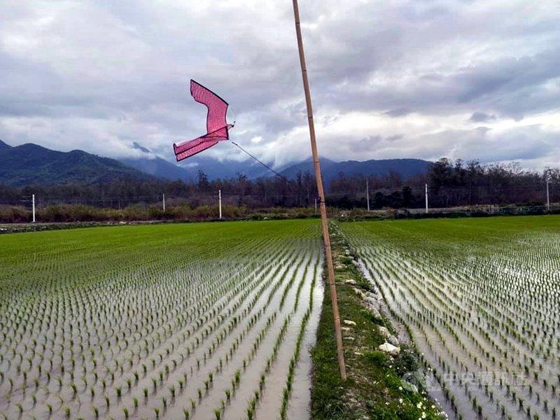 春節過後台東的一期稻已經完成插秧,雖然有些鄉鎮啟動輪灌,但不影響用水。最近許多西部糧商跑到台東預訂稻米,米價跟著波動。(民眾提供)中央社記者盧太城台東傳真  110年2月25日