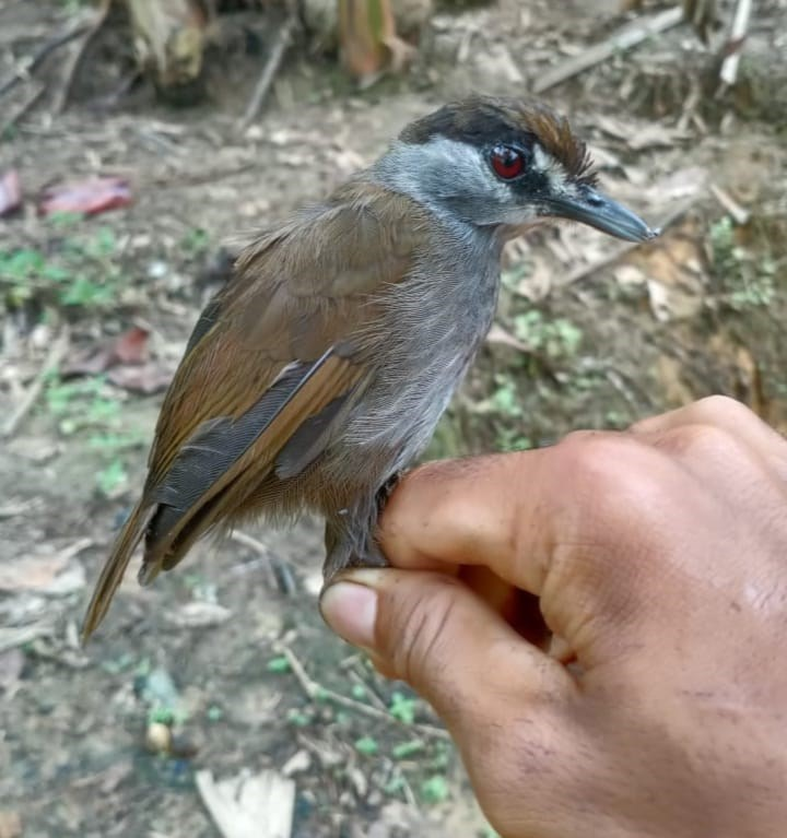 保育組織「全球野生動物保育」表示,2名印尼男子去年底在印尼婆羅洲見到一隻沒見過的鳥,將牠拍下照片再野放回森林,當地專家證實這是一隻長久以來被視為已滅絕的黑眉雅鶥。(圖取自全球野生動物保育網頁globalwildlife.org)