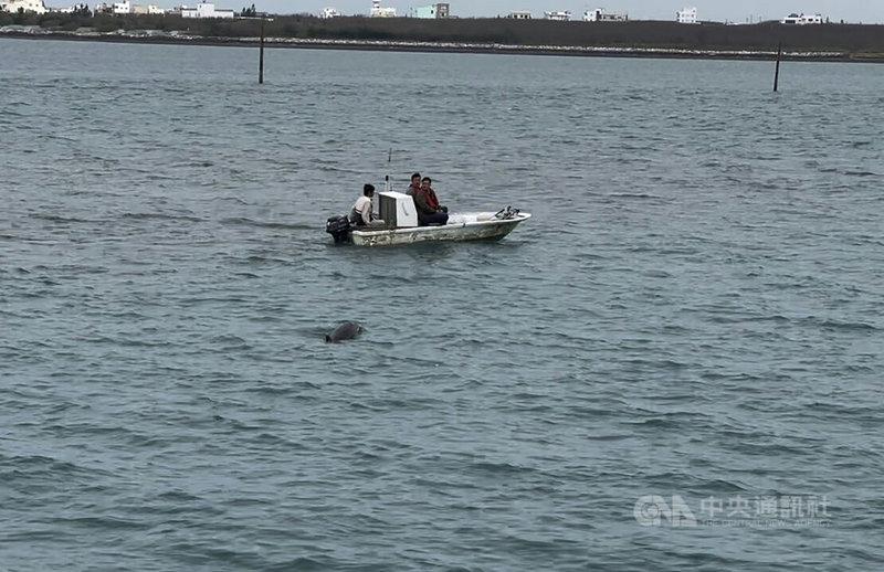 一隻長約1公尺半的瓶鼻海豚日前傍晚疑因覓食而誤闖澎湖沙港漁港,澎湖縣農漁局1日安排一艘休閒船筏,配合漲潮引導海豚出海,助海豚重回大海懷抱。(第七岸巡隊提供)中央社  110年3月1日