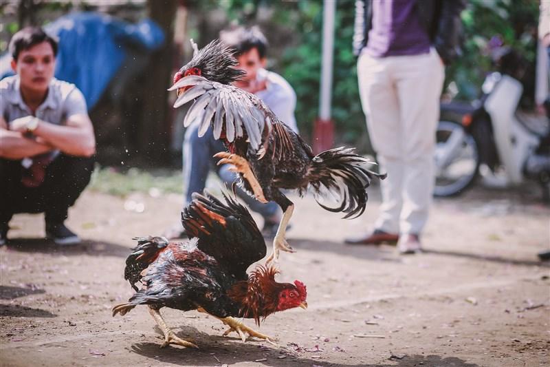 印度一名男子抓回自家想逃跑的鬥雞時,竟遭綁在雞腳上的利刃刺中鼠蹊部,失血過多而亡。(示意圖/圖取自Pixabay圖庫)