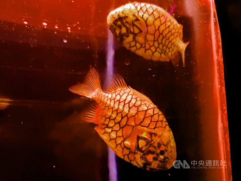 日本松毬魚是深海魚類,下頜前端有圓形發光器,能在黑暗中發亮。(海生館提供)中央社記者郭芷瑄傳真  110年3月2日