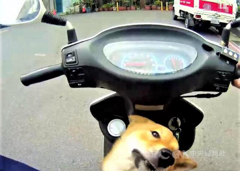 新北市蘆洲區日前有員警騎機車巡邏時,發現路旁疑有迷途柴犬,沒想到一停車,柴犬就直接跳上踏板,求援般看著員警,形成有趣畫面。(翻攝照片)中央社記者王鴻國傳真 110年3月3日