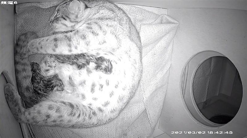 台北市立動物園3日表示,因救傷而照養在園內的台灣本土瀕危物種石虎「平平」2日產下3隻石虎寶寶,這是超過20年來園內再度有石虎生產。(台北市立動物園提供)中央社記者陳昱婷傳真 110年3月3日