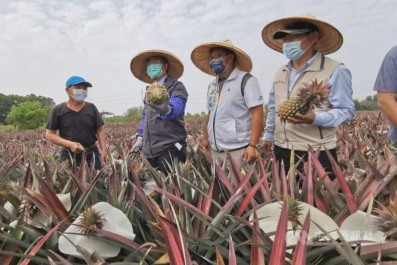 台南市長黃偉哲(左2)5日到關廟區鳳梨產地關心產銷情形,並走入田間親自動手體驗採收。中央社記者楊思瑞攝  110年3月5日