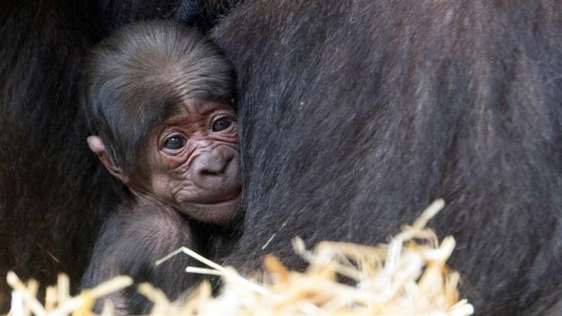 移居荷蘭阿培浩靈長類公園(Apenheul Primate Park)的金剛猩猩「寶寶」第一次繁殖成功,喜迎金剛Baby 。(台北市立動物園提供)