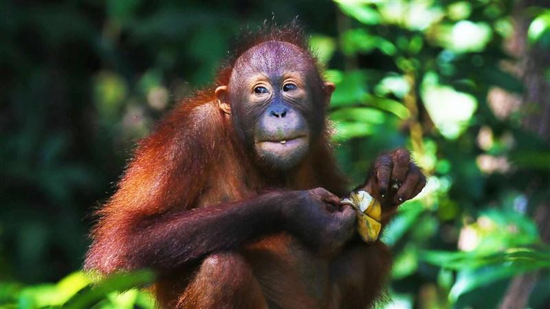 美國聖地牙哥動物園5日表示,他們為9隻大型猿猴接種實驗中的動物用新型冠狀病毒疫苗。圖為紅毛猩猩。(圖取自Pixabay圖庫)