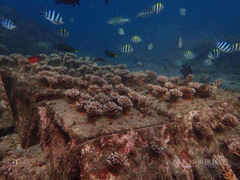 澎湖縣政府推動海洋棲地復育有成,馬公鎖港杭灣的珊瑚海洋花園,109年吸引6萬名遊客造訪,杭灣的成功經驗未來將在其他適合珊瑚生長的澎湖海域推廣。(澎湖縣政府提供)中央社 110年3月8日