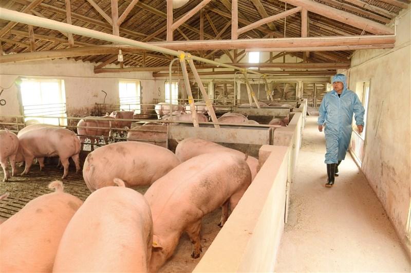 彭博報導,中國和越南等地今年傳出新的豬瘟疫情,亞洲豬肉嚴重短缺。圖為中國一處養豬場。(中新社)