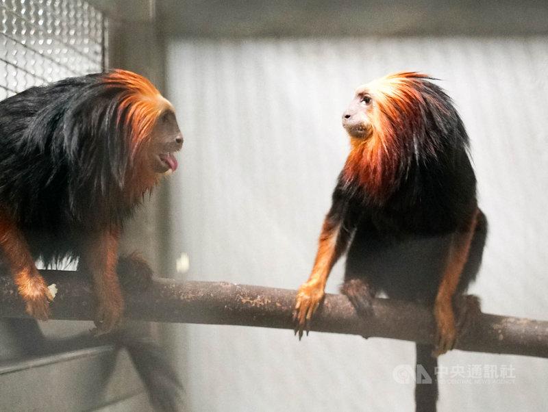 台北市立動物園9日表示,動物園向新加坡調度「金頭獅狨」(圖)等動物園首次引進的物種,待牠們完成檢疫、適應新環境後就能和民眾見面。(台北市立動物園提供)中央社記者陳昱婷傳真 110年4月9日