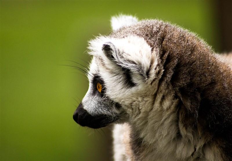 科學家警告,若全球均溫比工業革命前高攝氏3度,陸地與海洋近300個生物多樣性「熱點」將出現滅絕的高度危險。喜馬拉雅山的雪豹、馬達加斯加的狐猴(圖)等生物最終將邁入滅絕一途。(圖取自Pixabay圖庫)