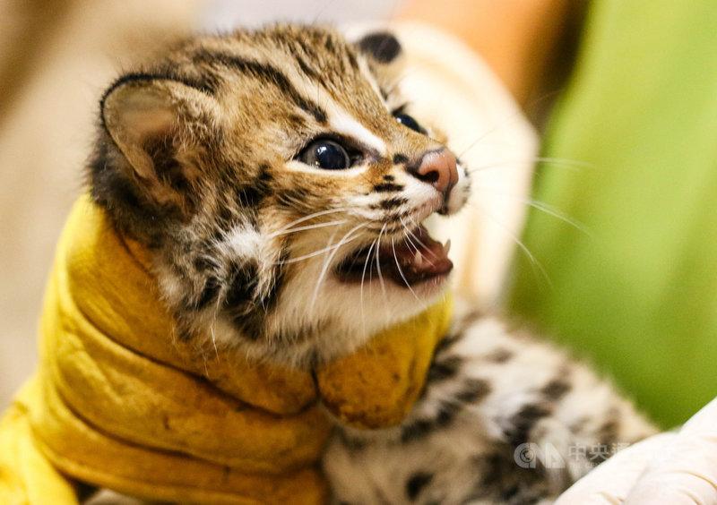 台北市立動物園石虎「平平」產下3兄妹,保育員用最快的速度為寶寶們測量體重和檢視性別,其中將二哥取名為「貓攬」(圖),象徵可愛到讓人想「擁貓入懷」。(台北市立動物園提供)中央社記者陳怡璇傳真 110年4月12日