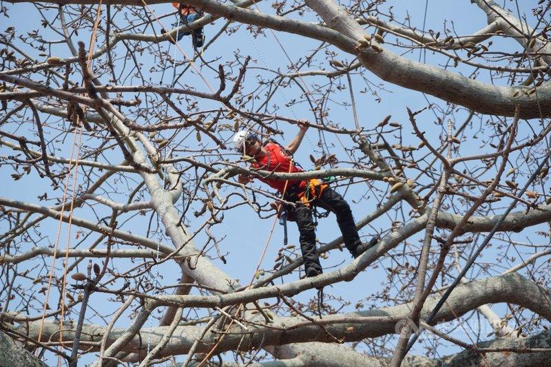 金門縣林務所委託具國際樹藝協會認證的樹藝師,13日起對清總兵署木棉樹進行蒴果摘除作業,避免大量棉絮伴隨蒴果裂開散飛,影響周遭民眾。中央社記者黃慧敏攝  110年4月13日