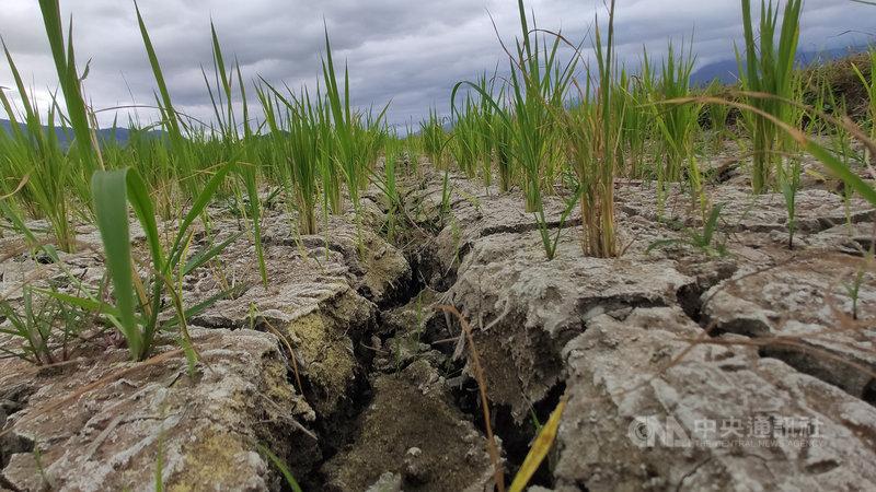 台東水稻即將進入孕穗期,需要足夠水量,但乾旱情況至今仍未紓解。池上鄉魏家庄部分水稻田引用海岸山脈泉水,因乾旱水量驟減,有將近1公頃田地出現龜裂,稻子也長不高,已有農民放棄耕作,將水稻耕除。中央社記者盧太城台東攝  110年4月14日
