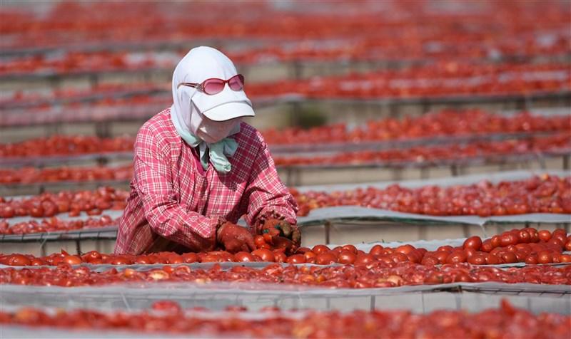 中國番茄產量約占全世界35%,其中新疆維吾爾自治區是高品質的番茄產地。圖為新疆焉耆盆地農民在晾曬番茄。(中新社)