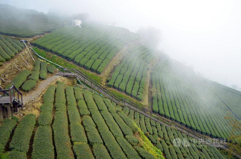 農委會茶業改良場長蘇宗振15日表示,2020年沒半個台颱進到台灣,沒雨直接影響茶的生長,2021年的春茶茶芽減少且發生老化情況,還有茶芽長得長短不齊,不利於採收,整體產量減少超過2成。圖為阿里山區茶園。中央社記者蔡智明攝 110年4月15日