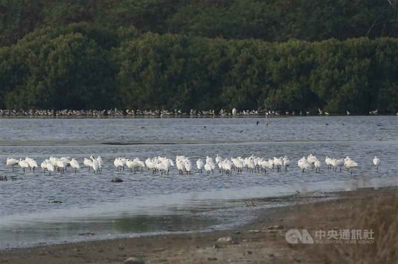 2021全球黑面琵鷺普查出爐,香港觀鳥會統計,今年黑面琵鷺總數首度突破5000隻,其中台灣以3132隻居冠,約占全球6成。圖為2020年黑面琵鷺在高雄永安溼地過冬。(中央社檔案照片)