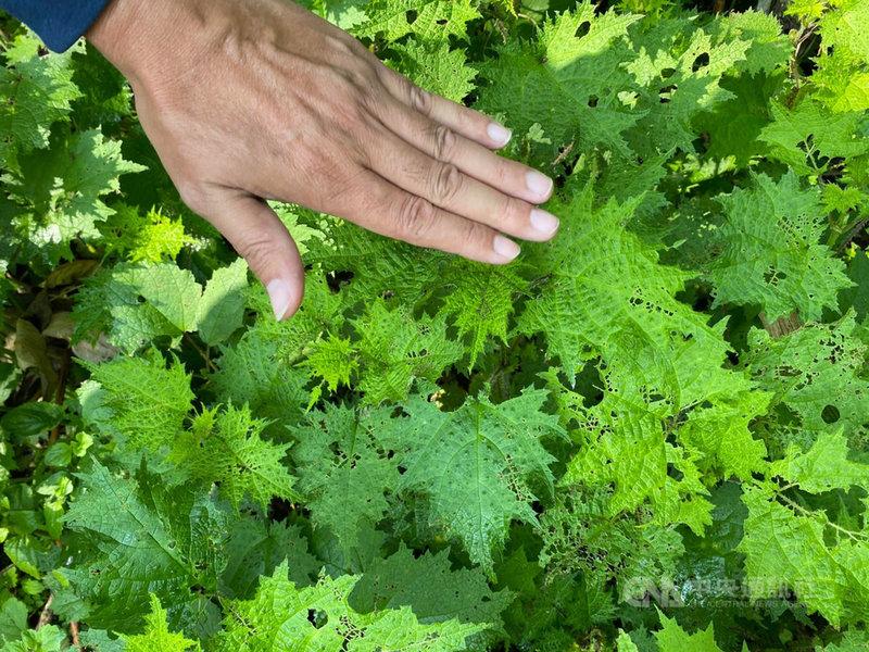 山林中有一種叫做「咬人貓」的蕁麻科植物,它的莖葉均具有尖銳刺毛,若不慎碰觸到會感到疼痛。(民眾提供)中央社記者李先鳳傳真 110年4月21日