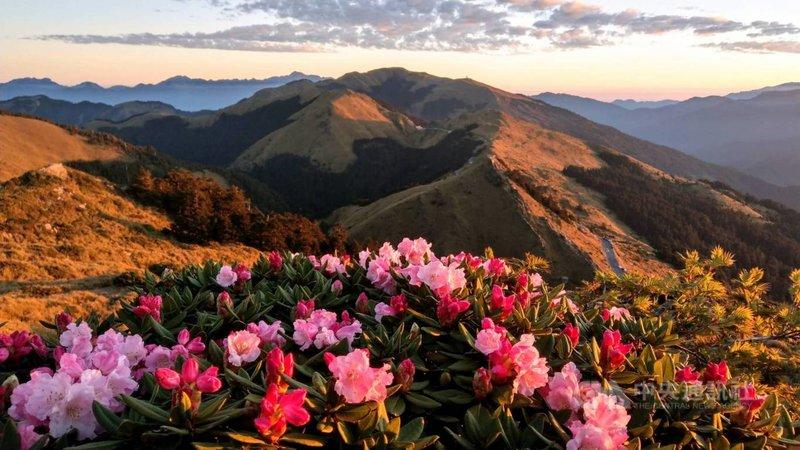 合歡山杜鵑花近日盛開,合歡東峰半山腰玉山杜鵑開花約5成。圖為21日清晨花況。(曾沛堯提供)中央社記者張祈傳真  110年4月21日