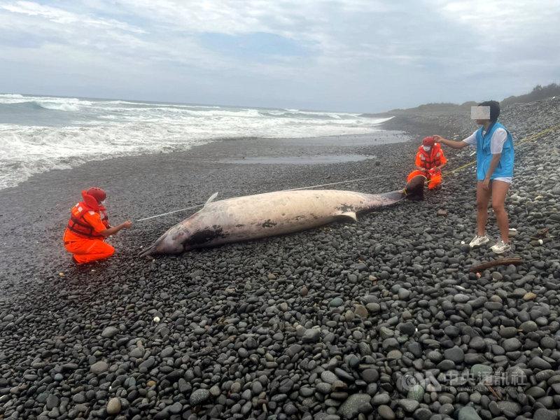 台東都蘭無名橋海邊22日有民眾通報發現死亡鯨豚,海巡派員前往,經丈量後這隻鯨豚體長約5公尺、寬約1公尺,專家研判為柏氏中喙鯨;因個體狀態完整,後續將由台東縣政府委託吊掛業者運往成功大學,以接續研究使用。(海巡署東部分署提供)中央社記者盧太城台東傳真 110年4月22日