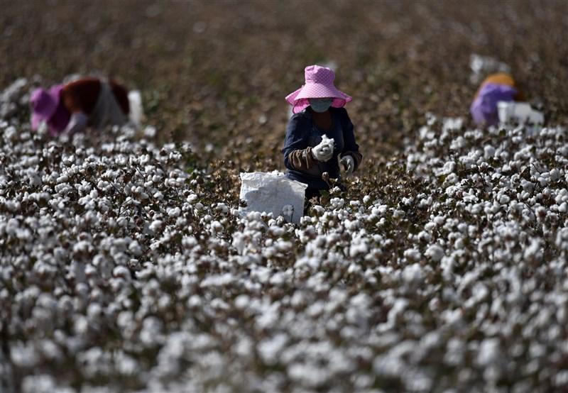 中國棉花協會近日公布生產管理規範,要探索自主的棉花標準體系,「塑造中國棉花品牌形象」。圖為新疆拾棉工採摘棉花。(中新社)
