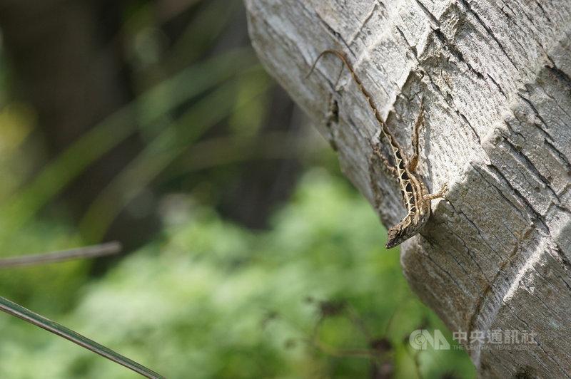 外來種「沙氏變色蜥」侵台十餘年,因繁殖力驚人,嚴重威脅本土種,造成生態及環境危害,林務局花蓮林區管理處將於15日開辦研習課程,教導民眾辨識爬蟲類、外來種知識等,號召志工加入移除及監控行列。(花蓮林區管理處提供)中央社記者張祈傳真  110年5月1日
