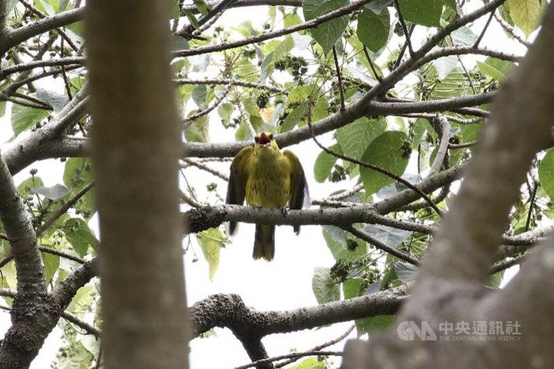 台南山上花園水道博物館自然生態豐富,吸引不少野生鳥類棲息,近日有愛鳥人士發現保育類的黃鸝現蹤。(陳宏昇提供)中央社記者楊思瑞台南傳真 110年5月2日