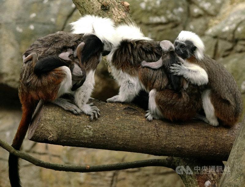 台北市立動物園5日表示,已有兩次生產經驗的棉頭絹猴「小白」2日產下三胞胎,但因母乳量仍分泌不足,其中一隻寶寶5日上午不幸夭折。(台北市立動物園提供)中央社記者陳昱婷傳真  110年5月5日