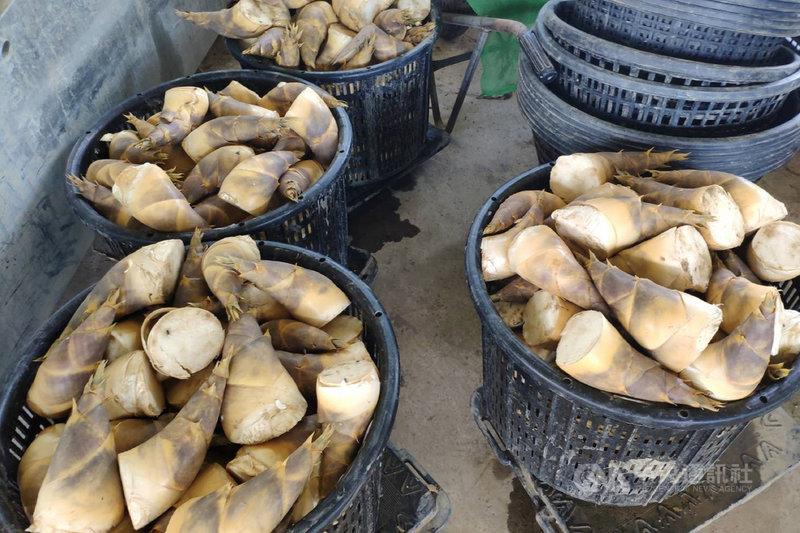 台南市竹筍種植面積約3856公頃,綠竹筍4月開始採收,盛產期為5月至10月。中央社記者楊思瑞攝  110年5月5日