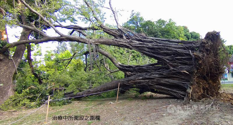 台灣不少樹木因感染褐根病倒塌,成功大學已著手進行樹木「載重試驗」,以檢測樹木是否有問題或生病。圖為成大成功校區一棵老榕5日因褐根病而倒塌。(成功大學提供)中央社記者張榮祥台南傳真 110年5月6日